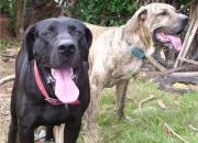 Se venden exelentes cachorros de fila brasilero !!!