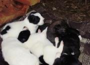 Regalo cachorros cruza con Border Collie (1 mes). Son divinos y están buscando un hogar!!!