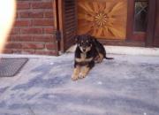 Regalo hermoso cachorro de 4 meses negro con pecho blanco y manchas marrones
