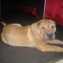 Vendo perro Shar Pei, macho de 5 meses