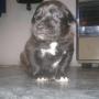 Cachorros Boxador Novedad Hibrida Reconocida Boxer-labrador macho y hembra