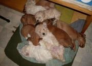 Venta de cachorros caniche toy.salchicha.bull dog frances.bull terrier.schnauzer mini.etc