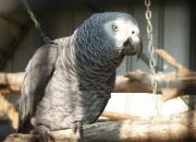 Bueno y amoroso loros grises africanos, que quieren una familia que les llevará a sus hijos como nueva.