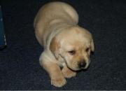 Cachorros de Labrador Vendo