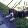 Cachorro Beagle Puro Divino!!!