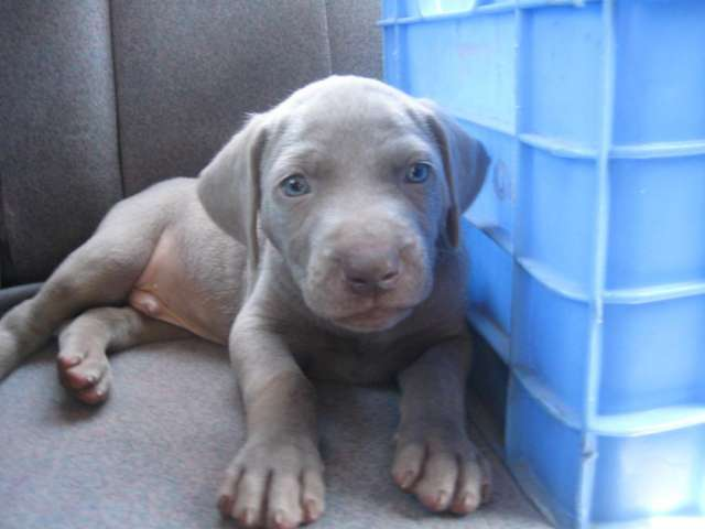 Vendo cachorros weimaraner exelentes 099675067