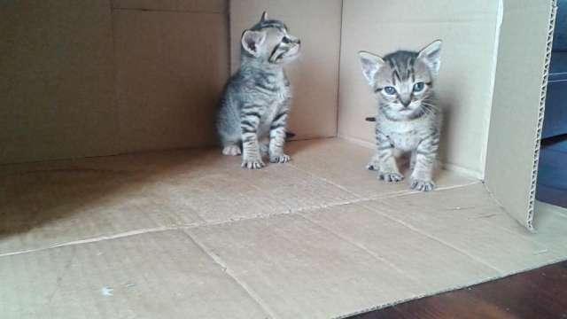 Doy gatitos de un mes y medio
